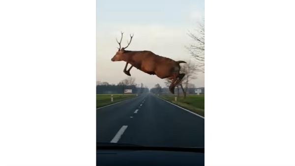 Jelen u skoku - Sputnik Srbija