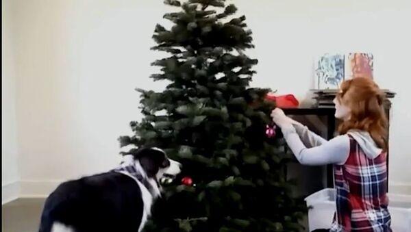 Pas pomaže vlasnici da okiti jelku - Sputnik Srbija