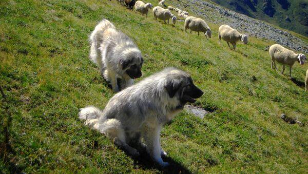 Шарпланинац са овцама на Косови у Метохији - Sputnik Србија