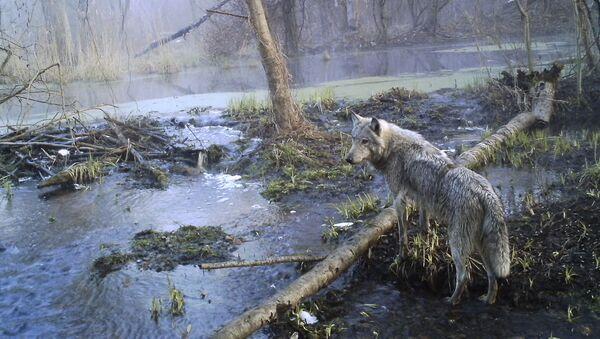 Волк в зоне Чернобыля - Sputnik Србија