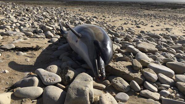 Аутопсије које су ове године спровели на мртвим делфинима у Националном центру за научна истраживања Универзитета Ла Рошел показују екстремне нивое сакаћења - Sputnik Србија