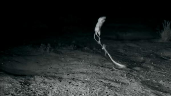Un rongeur «ninja» réussit à échapper à un serpent - Sputnik Србија