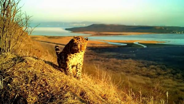 Ретки амурски леопард снимљен у Русији - Sputnik Србија