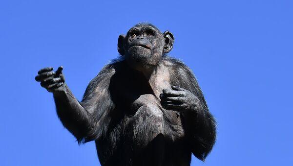 Шимпанзе су много снажније од људи... - Sputnik Србија