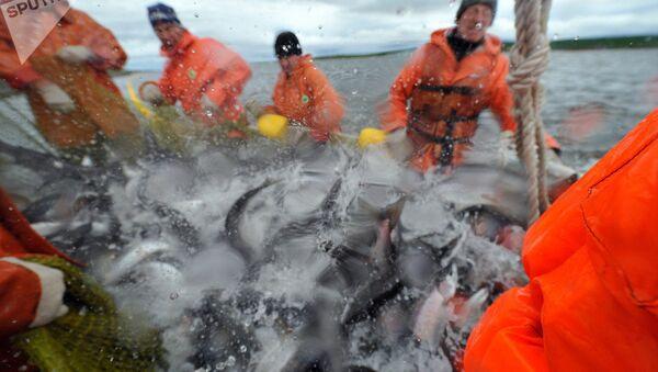 Норвешки лосос - Sputnik Србија
