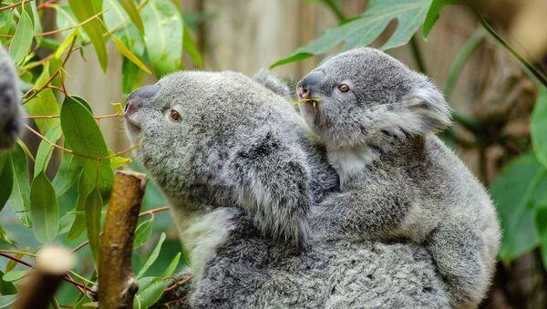Koale su milionima godina bile ključni deo zdravlja eukaliptusovih šuma - Sputnik Srbija