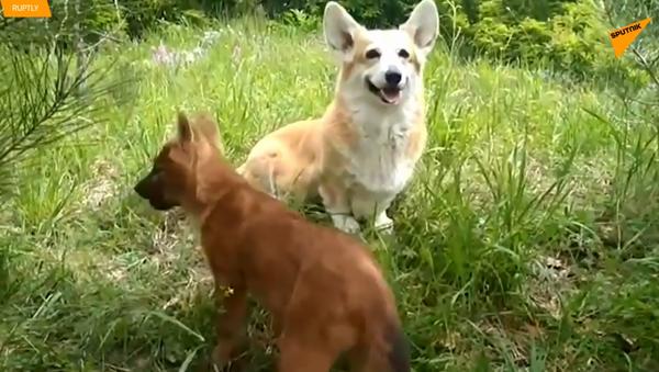 Par korgija usvojio mladunčad vuka  - Sputnik Srbija