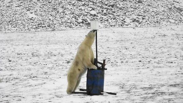 Белый медведь рядом с фотоловушкой на территории заповедника Остров Врангеля - Sputnik Србија
