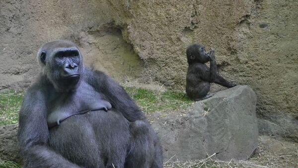 Горила - женка и младунче у зоолошком врту - Sputnik Србија