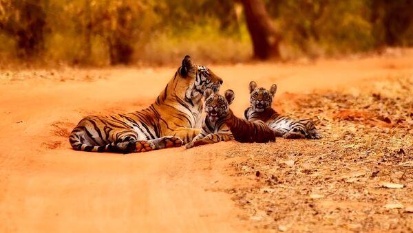 Tigrovi u Indiji - Sputnik Srbija