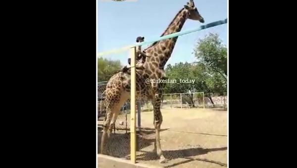 Човек јаше жирафу - Sputnik Србија