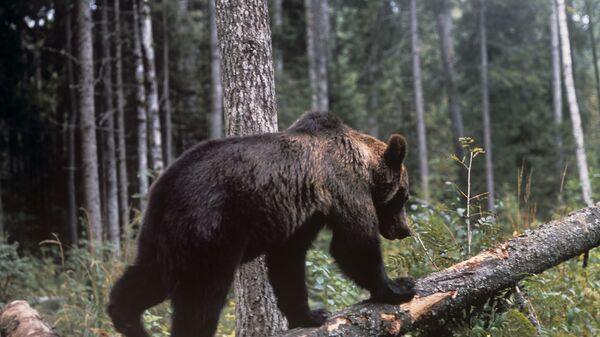 Mrki medved - Sputnik Srbija