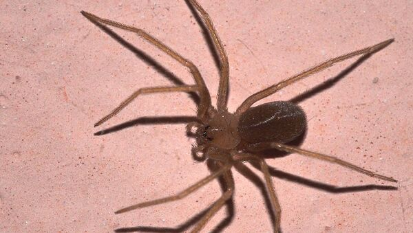 Smeđi pauk - Sputnik Srbija