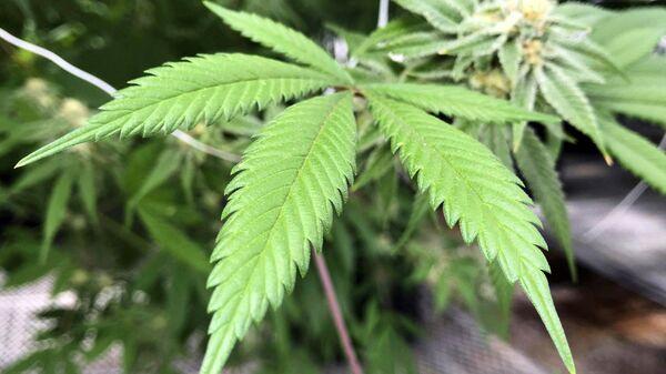 List marihuane u staklenoj bašti u Bernalilju u Novom Meksiku - Sputnik Srbija