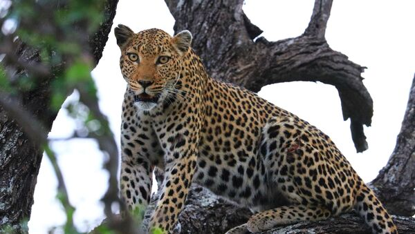Леопард на дрвету - Sputnik Србија