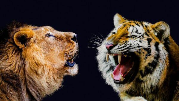 Лав и тигар - Sputnik Србија