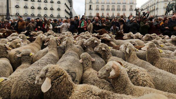 Ovce na ulicama Madrida - Sputnik Srbija