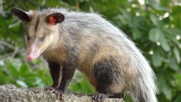 Oposum - Sputnik Srbija