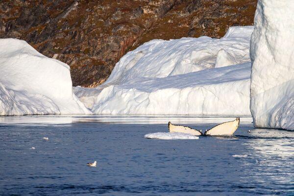 Кит у близини ледника у Леденом фјордском заливу у водама Гренланда. - Sputnik Србија