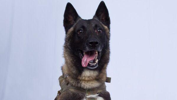Američki vojni pas koji je učestvovao u operaciji likvidacije lidera DAEŠ-a Abu Bakra el Bagdadija u Siriji - Sputnik Srbija