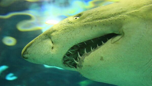 Велика бела ајкула - Sputnik Србија