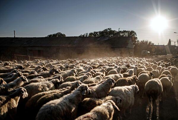Stado ovaca na pašnjaku, u blizini jezera Sevan u Jermeniji. - Sputnik Srbija