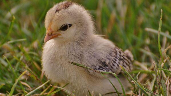 Пиле у трави - Sputnik Србија