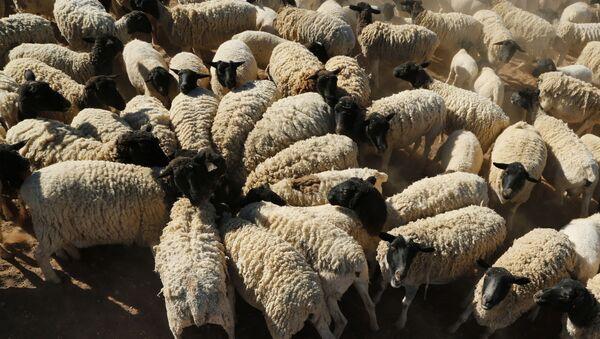 Овце - Sputnik Србија