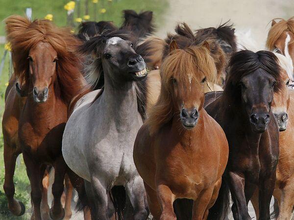 Исландски коњи су врло сналажљиви и бистри — такви су да би преживели у храном скромним, а климатски тешким условима. - Sputnik Србија