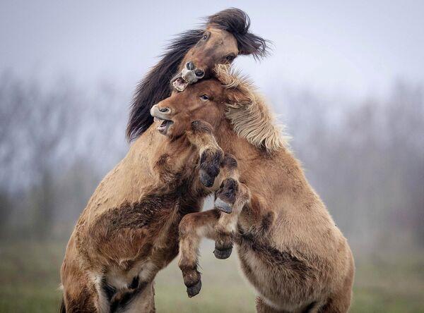 Исландски коњ је врло темпераментна животиња. Увек је спреман за трчање и игру. - Sputnik Србија