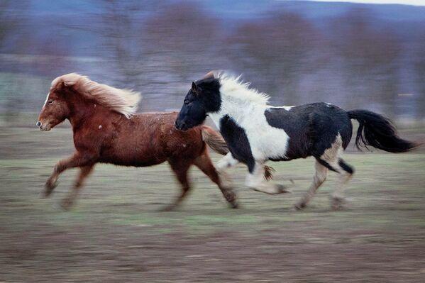 Стил јахања на исландским коњима је посебна категорија и техника која се учи у исландској школи јахања. - Sputnik Србија