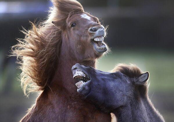 С исландским коњем нећете заблистати у прескакању препрека, као ни у дресурама, али уживаћете у дугим дивљим турама јахања на коњу којем је покрет у природи део свакодневног живота. - Sputnik Србија