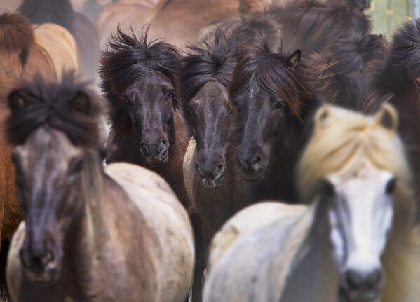 У скандинавској митологији коњи су били поштовани, а исландска пасмина је, према легенди, потекла од осмоногог коња Слејпнира, помоћника врховног бога Одина. - Sputnik Србија