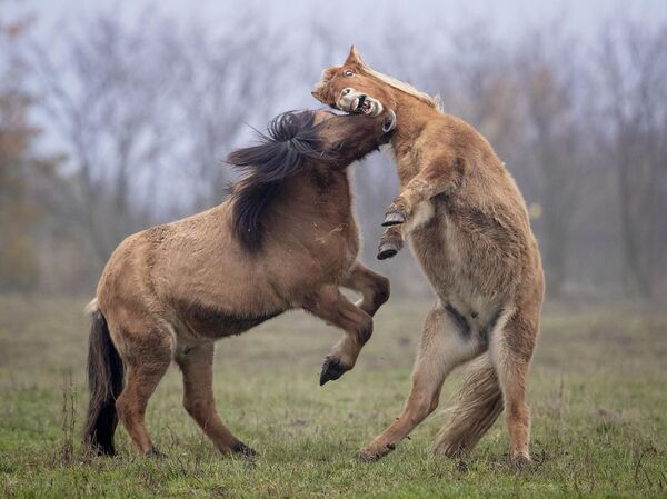 Само су ови коњи тако забавни да се играју једни са другима! - Sputnik Србија
