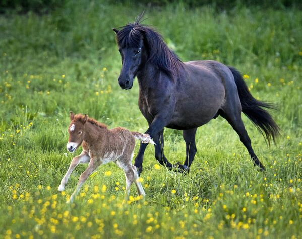 Ждребе старо само један дан! Исландски коњи достижу зрелост касно, у 7-8. години, али живе дуго — до 40 година. - Sputnik Србија