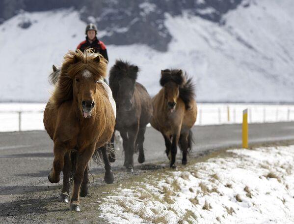 Исландски коњи на тркама постижу велику брзину од 50 километара на час. - Sputnik Србија