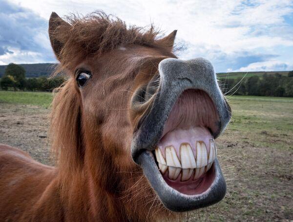 Исландски коњи су изузетно популарни у Европи и Северној Америци. - Sputnik Србија