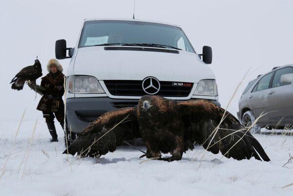 Zlatni orao ispred automobila dok lovi u Kazahstanu - Sputnik Srbija