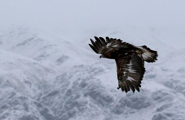 Veliki let zlatnog orla tokom lova - Sputnik Srbija