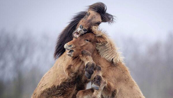 Islandski konji - Sputnik Srbija
