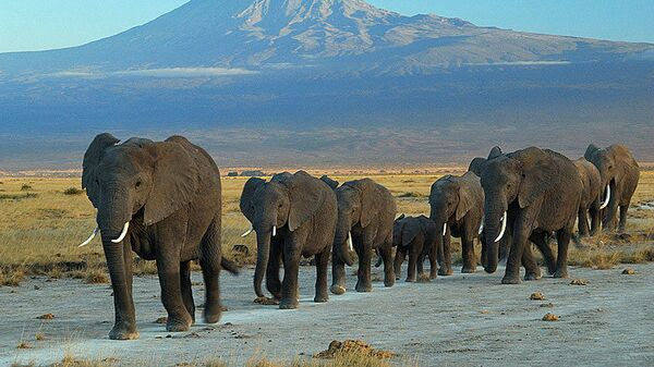 Слонови имају посебно састављено друштво где се бројне породичне групе састају и социјализују. - Sputnik Србија