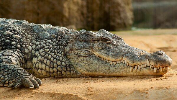 Сви алигаторови зуби видљиви су и кад им је чељуст затворена - Sputnik Србија