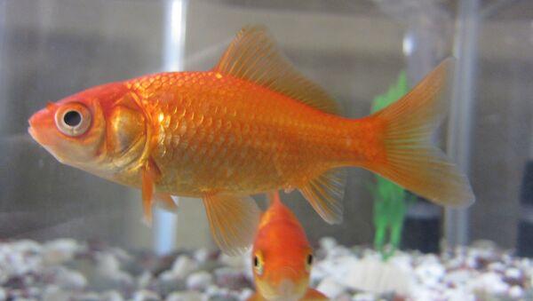 Ribe proizvode ogromnu količinu otpada, i potreban im je veoma moćan sistem filtracije. - Sputnik Srbija