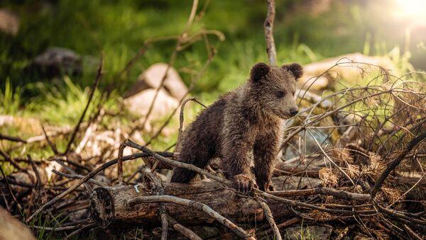 Medvedić u šumi - Sputnik Srbija