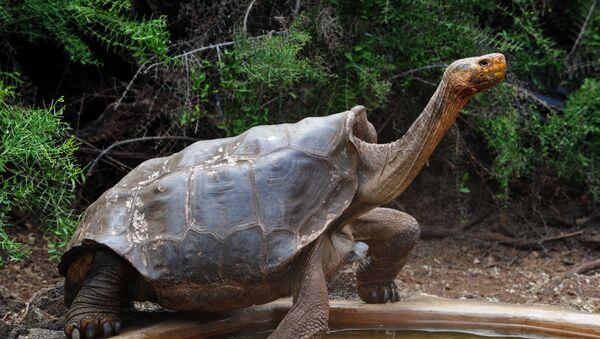 Džinovska kornjača Dijego na Ostrvu Espanjola Nacionalnog parka Galapagos - Sputnik Srbija