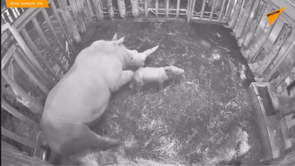 """У """"Ројал Бургерс"""" зоолошком врту у холандском граду Арнему родио се ретки бели носорог - Sputnik Србија"""