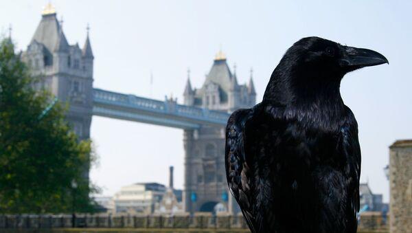 Гавран у Лондонској кули (Тауеру) - Sputnik Србија