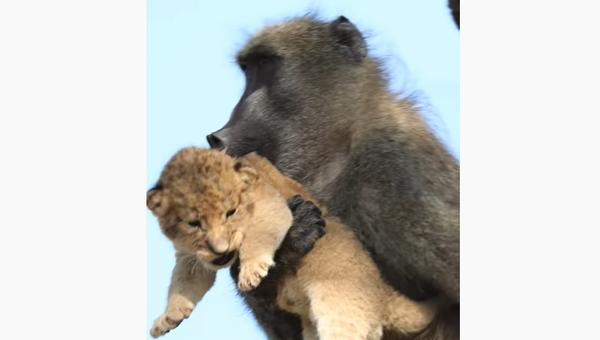 Мајмун у зоолошком врту присвојио малог лава - Sputnik Србија