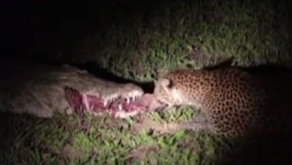 Леопард отима месо крокодилу - Sputnik Србија