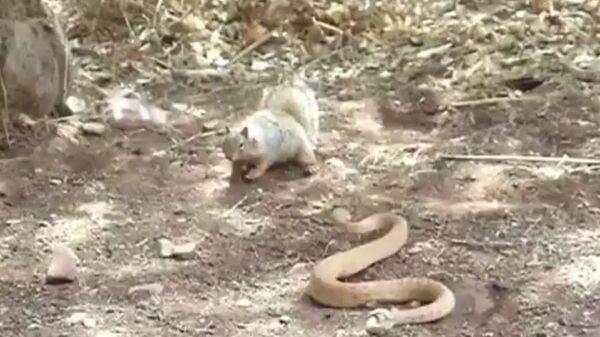 """Džinovska veverice žustro brani svoj dom od uljeza, posebno od crvene zvečarke. Možete je videti kako pomera rep napred-nazad, gurajući prljavštinu u lice zmii i šalje jasnu poruku: """"Ne kači se sa mnom!"""" - Sputnik Srbija"""